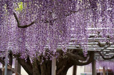 「かおり風景100選」大歳神社の千年藤