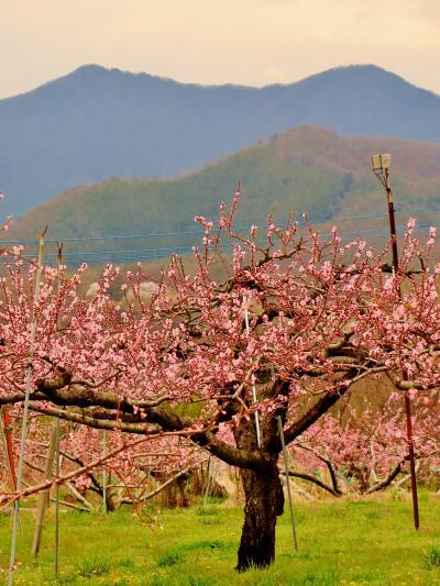 笛吹2/3 桃・ぶどう日本一の郷=花ざかり ☆桃源郷はピンクの装い