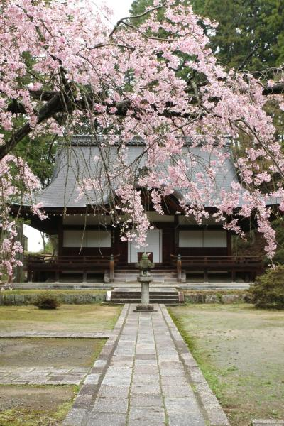南大阪桜紀行 その3 謎の案内人と弘川寺で桜を愛でる 「ねがはくは花のしたにて春死なんそのきさらぎの望月の頃」