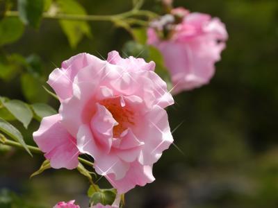 今年も薔薇の季節がやってきました。(2015年鶴舞公園 薔薇園)