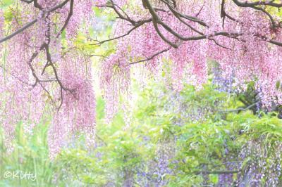 ◆◇陽だまりに咲く藤◇◆横須賀しょうぶ園