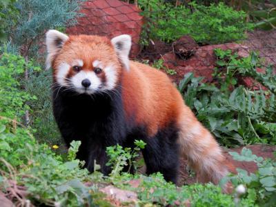 南米Panda Rojo紀行 Zoologico Nacional de Chile チリ・レッサーのアダムとイブに会いに・・・一段と可憐さを増したリリィちゃんに感涙&変わらぬ立ち姿のコウタ君に感動