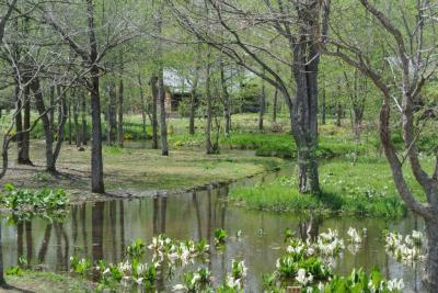 六花の森の水芭蕉