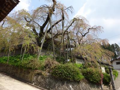 円正寺のシダレザクラ(高野町)は、2週間前が見頃だった。