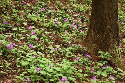 世界に1ヶ所だけの花、ここにしかない鳴神山のカッコソウ