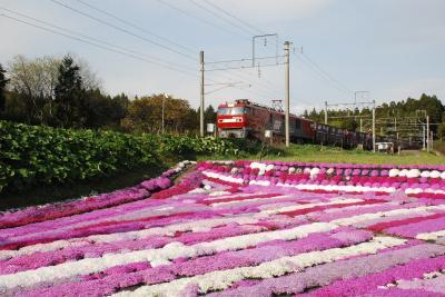 列車から眺められる木古内のシバザクラ(北海道)