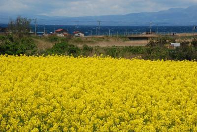 陸奥横浜の「菜の花王国」を訪ねて(青森)