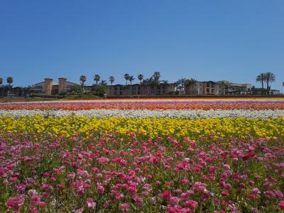 Carlsbad 1人旅 -The Flower Fields- (San Diego)