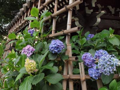 境内を埋め尽くす紫陽花はまさに七変化~♪