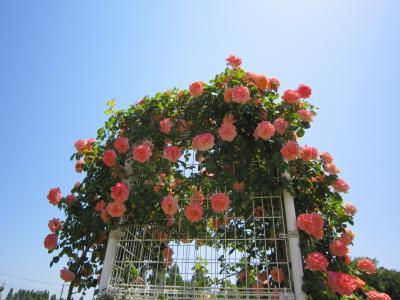 きれいな薔薇をみてきました。