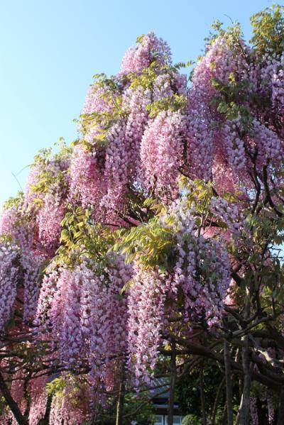 おもてなしの旅 ~竜神大吊橋と藤の花~