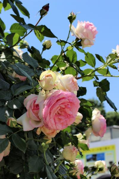 今年も神代植物公園にバラ鑑賞に行ってきました