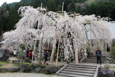 太閤秀吉も醍醐の花見で観たかも?宝蔵寺の枝垂れ桜