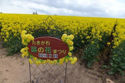 滝川の菜の花は今が見ごろ