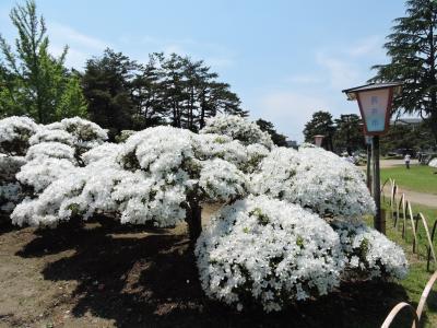 白で包まれた公園(長井白つつじ公園)