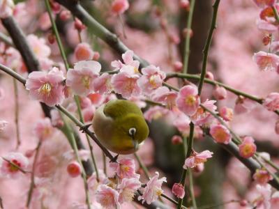 城南宮の枝垂れ梅は何度見ても素晴らしい!◆ガブちゃん&shimaさんと行く京都の観梅ツアー≪その1≫