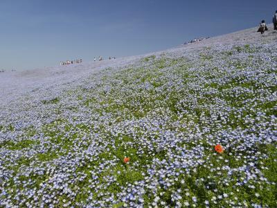 あこがれの、ひたち海浜公園のネモフィラ。お願い!花を踏まないで!