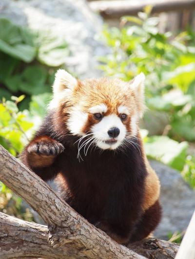 北海道ドライブ旅最終章<円山動物園へかわいいレッサーパンダに会いに行こう 新千歳空港でスープカレー>