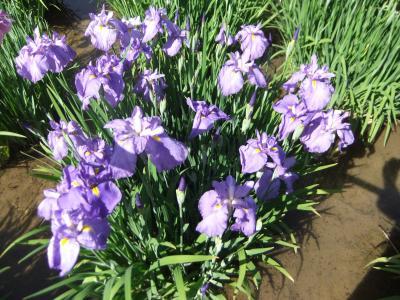 皇居東御苑の花菖蒲は綺麗に咲いていた