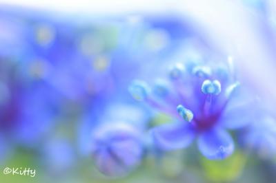 今年も紫陽花と未央柳!☆☆水玉溢れる6月の多摩川台公園☆☆