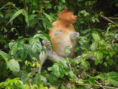 ボルネオ島(マレーシア)サバ州自の自然に触れる旅 ⑨キナバタンガンリバークルーズ 二日目 5月3日(日)