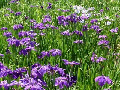 あずま水生植物公園の花しょうぶ_2015_群馬県伊勢崎市