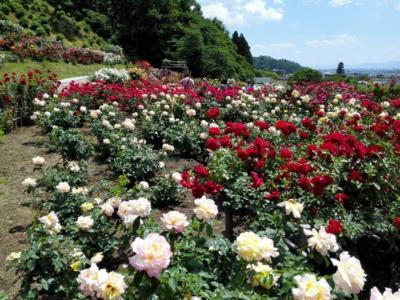薔薇の香りに包まれた、ひととき