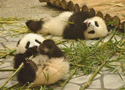 再び白浜アドベンチャーワールド のほほん記 すくすく成長中のパンダの赤ちゃん桜浜&桃浜  レッサーパンダの双子ちゃんの誕生日会でハート型のリンゴとニンジンのプレゼント