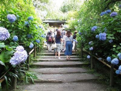 鎌倉で こぼれそうに咲く アジサイを見る旅