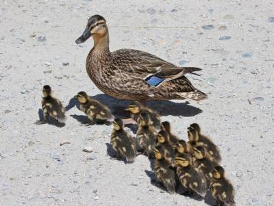 いちご狩り → ライフェル渡り鳥保護区(3回目) ひな鳥の季節&初夏の散歩