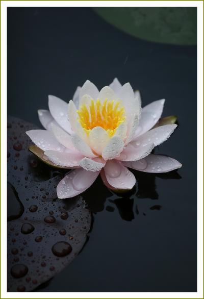 Solitary Journey [1605] 雨降る中、水の妖精'スイレンの花'を鑑賞してきました。<標高693mの極楽寺山?蛇の池″>広島県廿日市市
