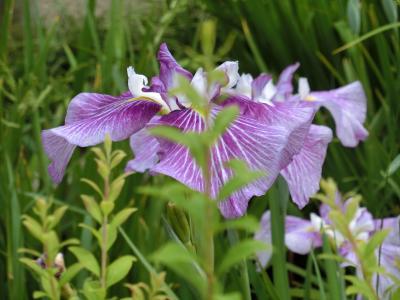 薬師池公園の花菖蒲と紫陽花