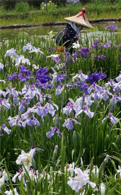 梅雨の晴れ間に紫の花景色 水郷佐原あやめ祭り