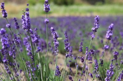『東松島で復興の香り開花。。。。今見頃に』。。。とテレビの情報で知り。。