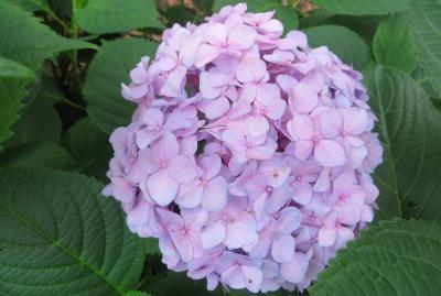 2015梅雨、尾張・三河の紫陽花巡り:鶴舞公園(2/6):あじさいの散歩道、手毬咲アジサイ、額アジサイ