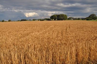 麦秋・そして麦刈り