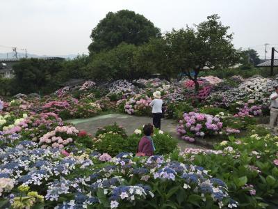 愛媛県…四国中央市で紫陽花見てきました!