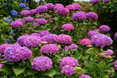 下仁田あじさい園 見晴らしい良い 斜面に美しくに咲く あじさいたち 下