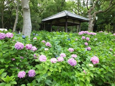 藤森神社の紫陽花!2015年