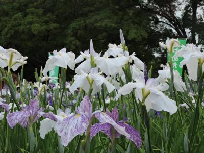 長井あやめ公園満開です。