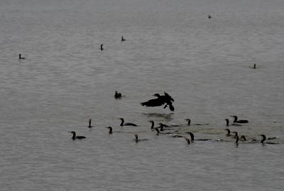 2015梅雨、藤前干潟でのバード・ウォッチング(2/5):カワウ、ダイサギ、アオサギ