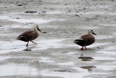 2015梅雨、藤前干潟でのバード・ウォッチング(3/5):カワウ、ダイサギ、アオサギ、カルガモ