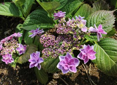 百種類・二万株、美咲花山園の紫陽花