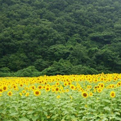 夏・満開のひまわり畑へ@佐用町(兵庫)