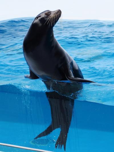 鶴岡7/7 加茂水族館 アシカショーを見学 ☆オットセイの空中輪くぐりも