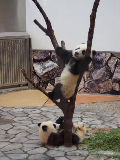 双子の赤ちゃんパンダを見にアドベンチャーワールド♡動物好きには、たまりませんわ~♡