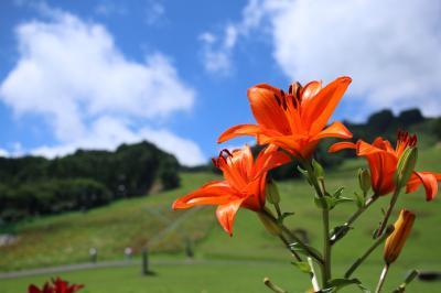 千種高原ゆり園で咲き誇るゆりを眺める。