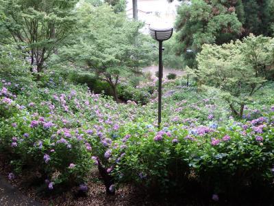 秋葉公園の紫陽花は今年もきれいに咲いていた。