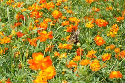 20150801-2 浜離宮庭園 キバナコスモスと虫達と