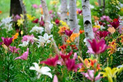 盛夏の季節、塩原温泉郷に避暑の旅へ【2】~白樺の森を百花繚乱の百合が埋め尽くす・・・ ハンターマウンテンゆりパークへ♪~